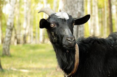 black goat black goat among birches closeup stock photo colourbox