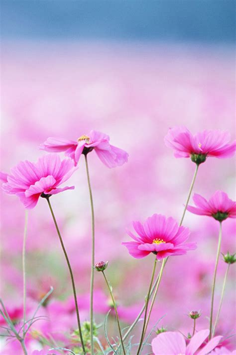 pink flowers iphone wallpaper hd