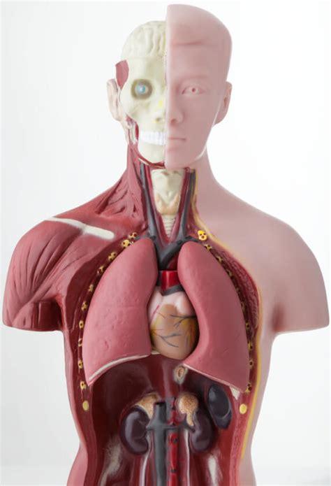 fotos del interior del cuerpo humano definici 243 n de 211 rganos cuerpo humano 187 concepto en
