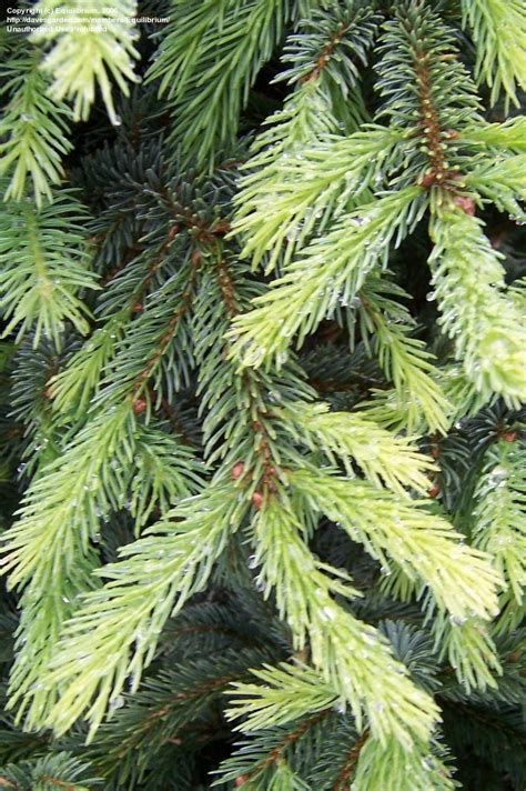 canadian spruce tree plantfiles pictures alberta spruce black spruce