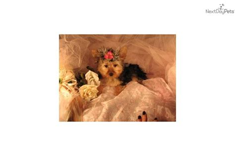 adopt a pet yorkie teacup yorkie puppies available for adoption free pet breeds picture