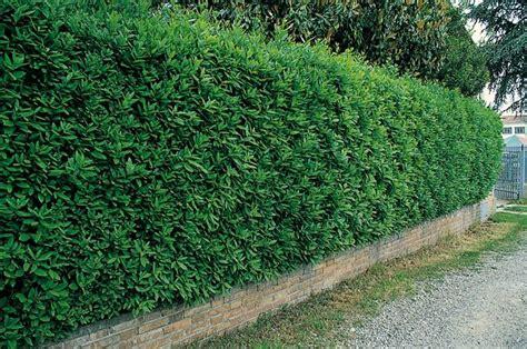 siepi per giardino siepi da giardino siepi caratteristiche delle siepi da