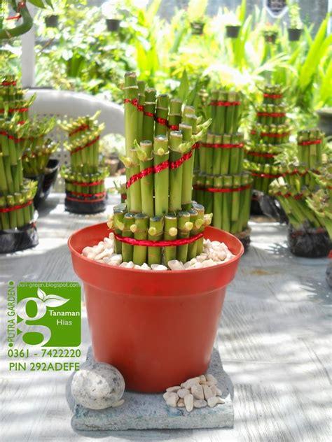 Bibit Bambu Rejeki putra garden distributor tanaman bambu rejeki lucky