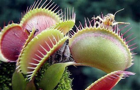 Jual Bibit Venus Flytrap foto foto bunga predator lagi memangsa korbannya budi
