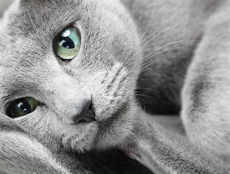 blue cats the russian blue cat cat breeds encyclopedia
