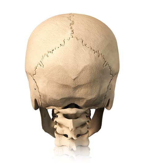 occipital bone hairstyles pictures back of skull parietal bone short hairstyle 2013