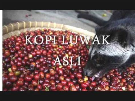 Coffee Taste Malang Harga 6281 233 660 207 kopi luwak indonesia kopi luwak di malang green bean coffee