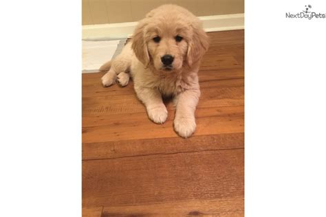 golden retriever puppies tn cinnamon golden retriever puppy for sale near chattanooga tennessee d23d957d 4bf1