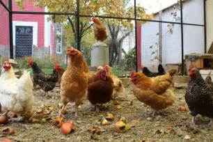 how to choose the right breed of chicken for your backyard