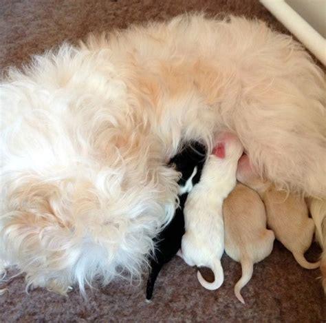 newborn havanese puppies 481 best images about havanese puppies on puppys search and havanese puppies