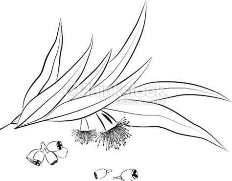 eucalyptus coloring page eucalyptus leaves flowers and seeds outline vector art