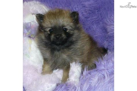 teddy pomeranian breeder teacup teddy pomeranian puppies