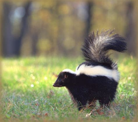 Skunks How To Identify And Get Rid Of Skunks In The Skunk In Backyard