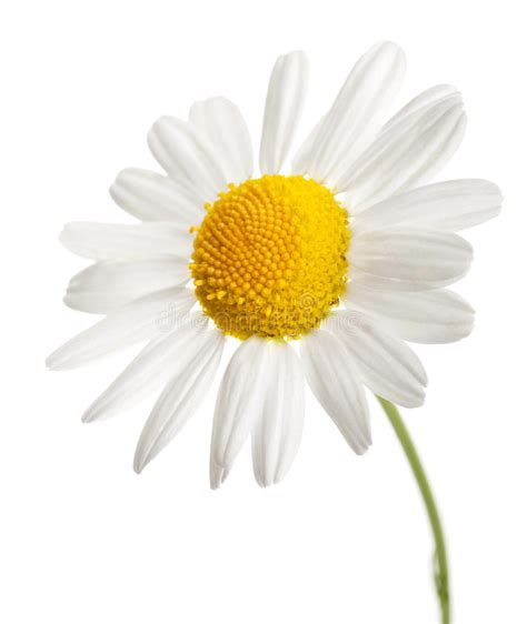 fiore della camomilla fiore della camomilla isolato immagine stock immagine di