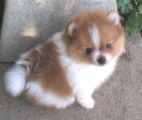 where did pomeranians come from pomeranian history