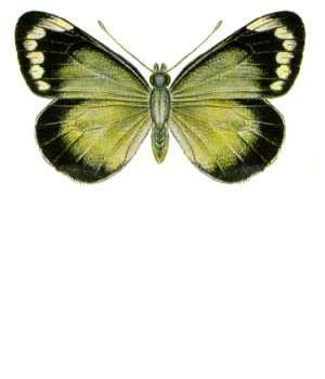 2019 White Kemben Butterfly 1 imperial white butterfly