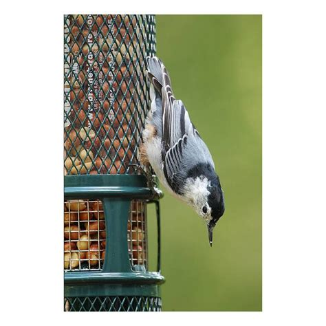 amazon com squirrel buster peanut plus wild bird feeder