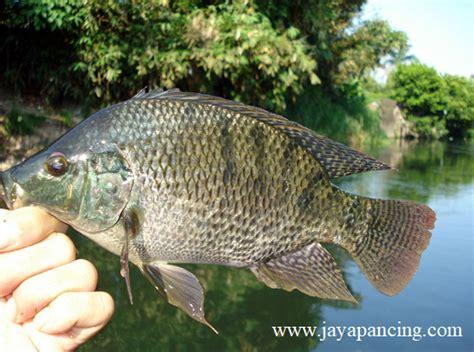 tips mancing ikan nila  susah makan  hidup  alam