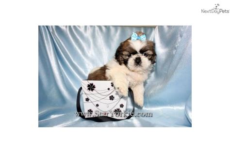havanese weight standards pictures of havanese puppies page 3 models picture
