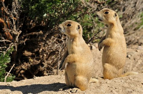 where do prairie dogs live prairie dogs are serial killers that snuff out the competition treehugger