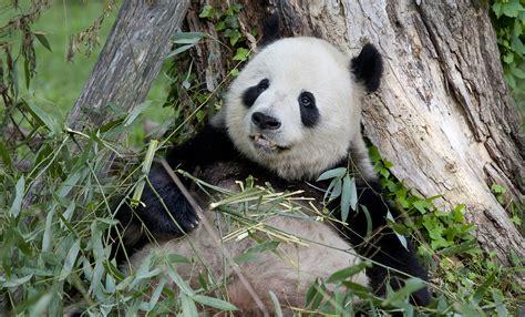 St Pandablack panda smithsonian s national zoo