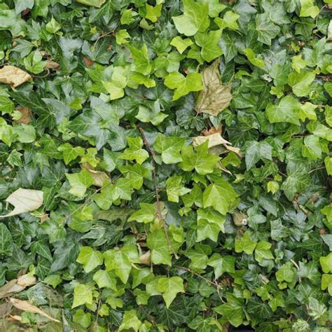 ivy pattern variables 15 ivy textures psd png vector eps format download