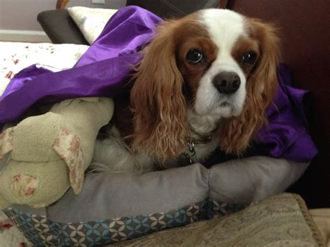 false pregnancy in dogs false pregnancy in dogs two cavaliers
