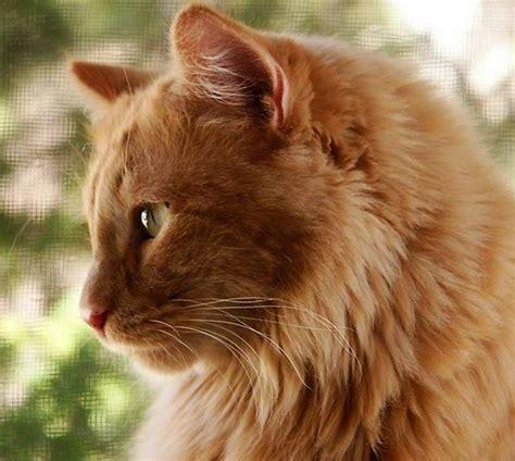A Gorgeous Golden Cat Kittentoob