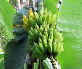 bananas on tree bananas cookhacker