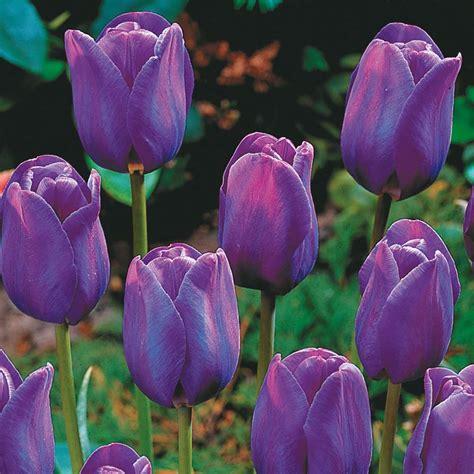 wallpaper bunga tulip ungu eleletsitz tulip ungu wallpaper images