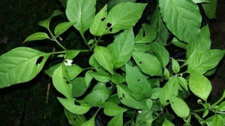 eating  pepper plants thriftyfun