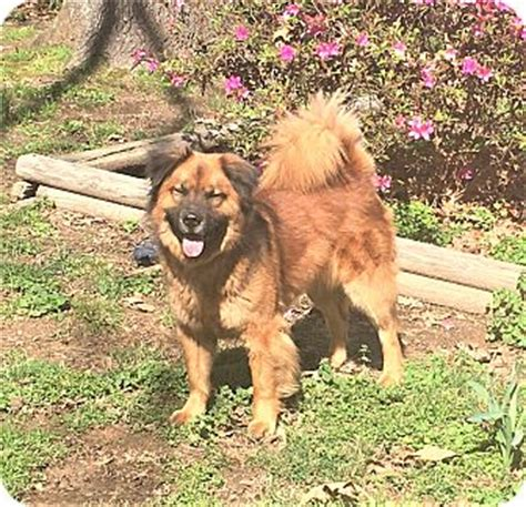 keeshond golden retriever mix wendy adopted harrisburg pa golden retriever keeshond mix