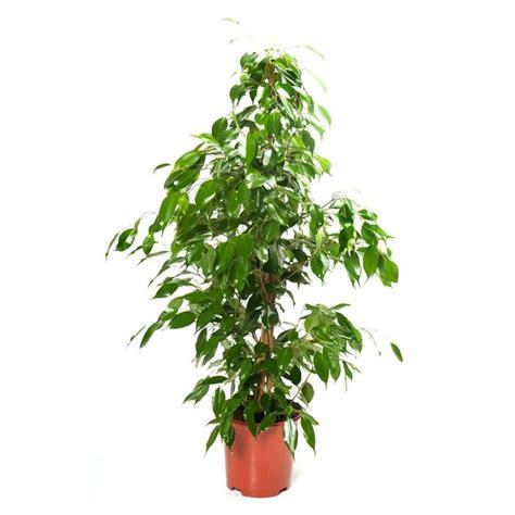 Potatura Ficus Benjamin by Potatura Ficus Benjamin Potatura Come Far Bene Il