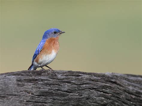 maryland biodiversity project eastern bluebird sialia