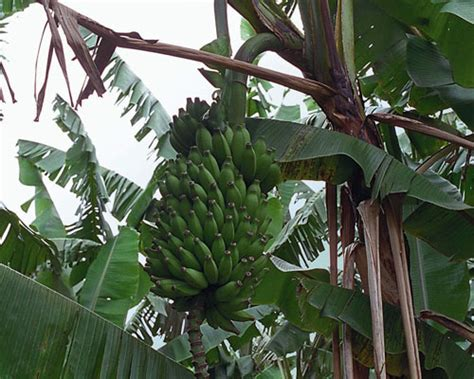 musa truly tiny banana from agristarts musa pisang ceylon banana from agristarts