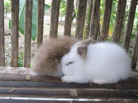 Jual Shoo Nr torosso rabbit shop jual kelinci angora