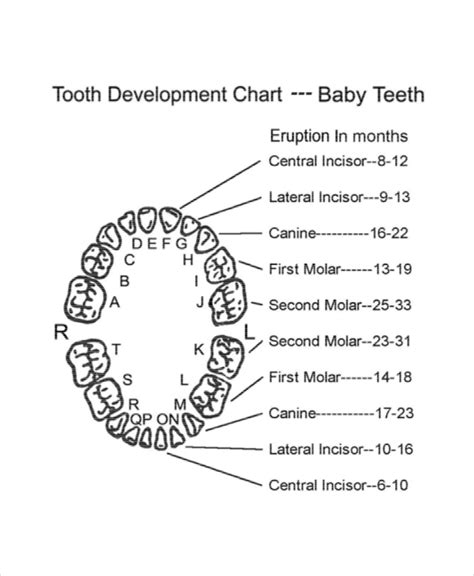 teeth chart template 7 baby teeth growth chart templates free sle