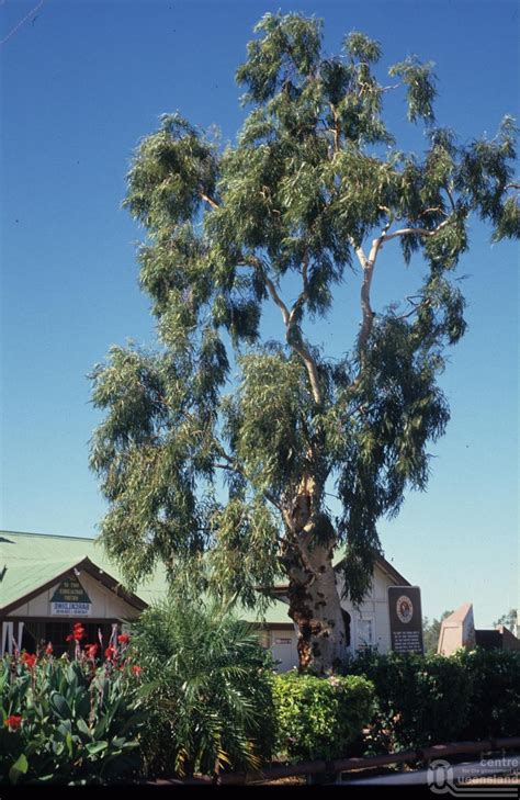 the original tree of knowledge barcaldine queensland places