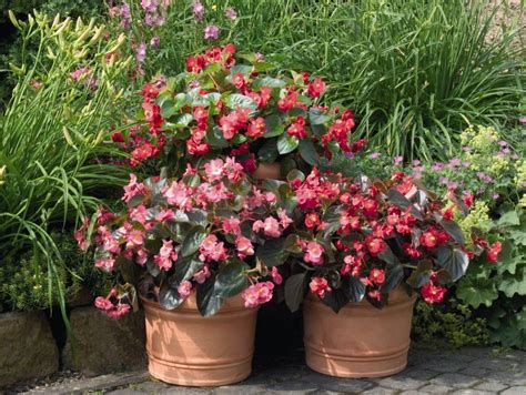 Shrubs For Planters by Begonia Big Mix 150mm Pot Dawsons Garden World