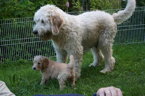 mini goldendoodle information goldendoodle information breeds picture