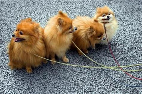 origin of pomeranian pomeranian dogs lovetoknow