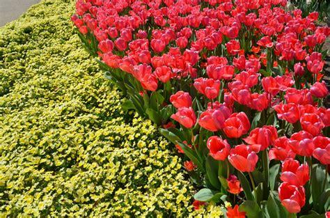 gambar menanam padang rumput daun bunga bunga tulp