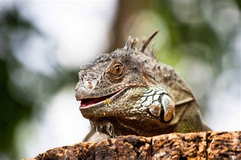 picture nature wildlife animal reptile lizard