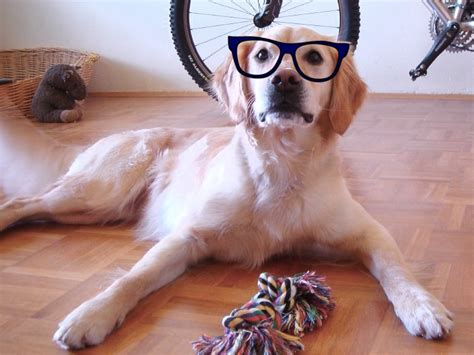 file the golden cockerel bilibin 10 jpg wikimedia top 15 smartest dog breeds page 12 amazing doggies