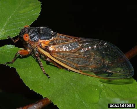 brood vi cicadas expected this spring north carolina