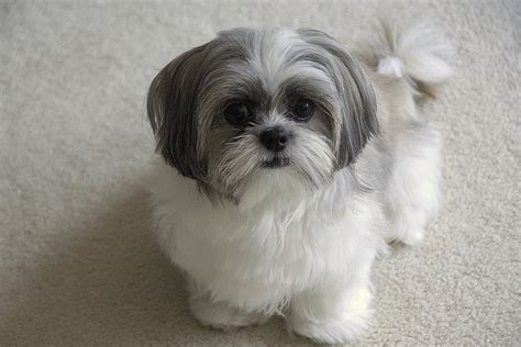 haircuts for shih tzu brilliant popular shih tzu haircuts given different article harvardsol