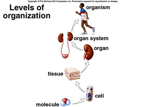 levels of organization diagram rgmms science