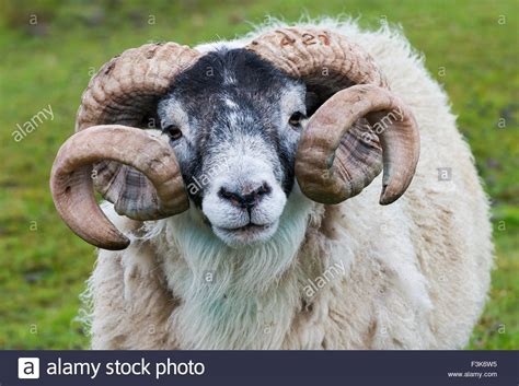 picture of a ram scottish sheep breeds breeds picture