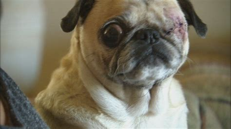 oldest pug a vet removed this pug s eye without asking owner