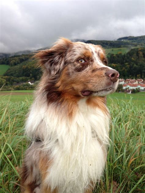 australian breeds australian shepherd breed 187 information pictures more